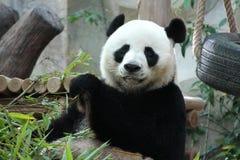 A male panda in Chiangmai zoo Stock Photos