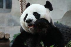 Male panda in Chiangmai zoo, Thailand Royalty Free Stock Photos