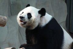 Male panda in Chiangmai zoo, Thailand Stock Photography