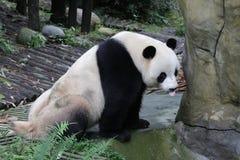 Male Panda in Chongqing, China Royalty Free Stock Image