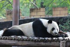 Male panda is sleeping on the wood bed Stock Photo
