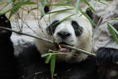 Male panda us eating bamboo leaves Royalty Free Stock Photo