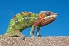 Male Panther chameleon Stock Images