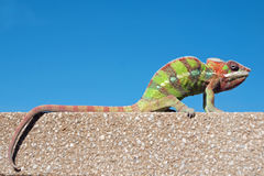 Male Panther chameleon Stock Photo