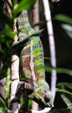 Male panther chameleon is hanging on to a branch. Stock Photography