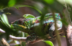 Male panther chameleon is hanging on to a branch. Stock Image