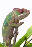 Male Panther chameleon Royalty Free Stock Image
