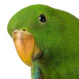 male papegoja för eclectus Arkivfoton