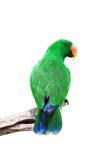 male papegoja för eclectus Royaltyfria Bilder
