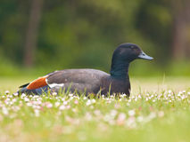 Male paradise duck Stock Photo