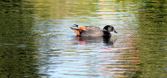 Male Paradise Duck Stock Image