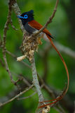 Male Paradise Flycatcher Royalty Free Stock Photo