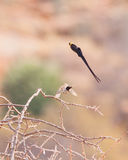 The male Paradise Whydah´s dance Stock Image