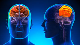 Male Parietal Lobe Brain Anatomy - blue concept Stock Photo
