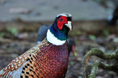 Male partridge Royalty Free Stock Photography