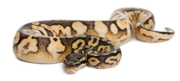 Male Pastel calico Royal python Royalty Free Stock Images