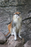 Male Patas monkey. Patas monkey sitting on a stone Stock Image