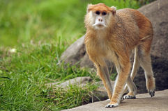 Patas Monkey walking royalty free stock image