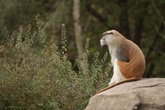 Patas Monkey on rock Stock Photo