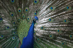male pavopåfågel för cristatus Royaltyfri Foto