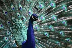 male pavopåfågel för cristatus Arkivbild
