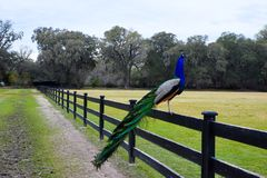 Free Male Peacock Royalty Free Stock Image - 117354036