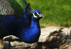 Male peacock Stock Images