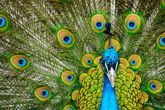 Male peacock Stock Photo