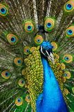 Male peacock. Beautiful male indian peacock showing its feathers (Pavo cristatus stock image