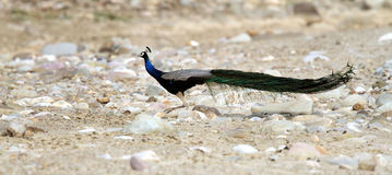 A male Peacock Stock Photo