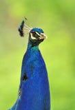 Male peacock Stock Photos