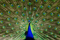 Male Peacock Royalty Free Stock Photo