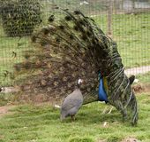 Male peacock woos his mate with hypnosis. A male peacock bird fascinates his mate royalty free stock photo