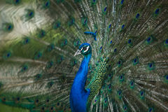 Male Peacock Royalty Free Stock Photography