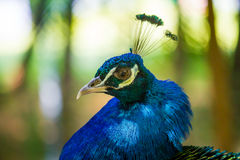 Male peacock Royalty Free Stock Image