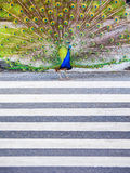 Male peacock crossing   the road using pedestrian zebra crossing Royalty Free Stock Photo