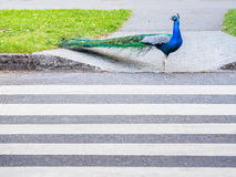 Male peacock crossing  the road using pedestrian zebra crossing Stock Images