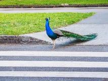 Male peacock crossing  the road using pedestrian zebra crossing Stock Photos