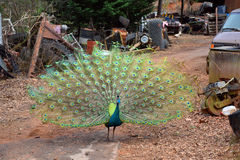 Male Peacock with Deployed Feathers. Stock Photos