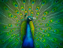 Male Peacock - Digital Painting Stock Photo