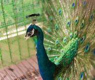 Male peacock displaying colorful feathered tail. Male peacock displaying his colorful feathered tail Royalty Free Stock Photos