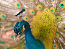Male peacock displaying colorful feathered tail. Male peacock displaying his colorful feathered tail Stock Photography