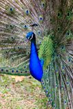 Male Peacock on Displaying Feathers Royalty Free Stock Images