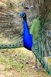 Male Peacock on Displaying Feathers Royalty Free Stock Image