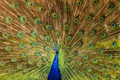 Male Peacock displaying feathers Stock Images