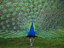 Male peacock displaying its tail feathers in spring royalty free stock image
