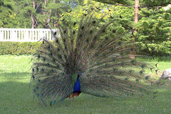 Male peacock displaying tail feathers Stock Images