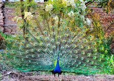 A male peacock is expanding his feather. Beautiful Pakistani peacock with fully fanned tail Stock Image