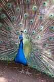 Male Peacock Feather Display. Male peacock in all his glory displaying his colorful tail feathers stock image