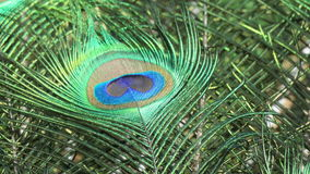 Male peacock feather in zoo de Beauval Royalty Free Stock Image